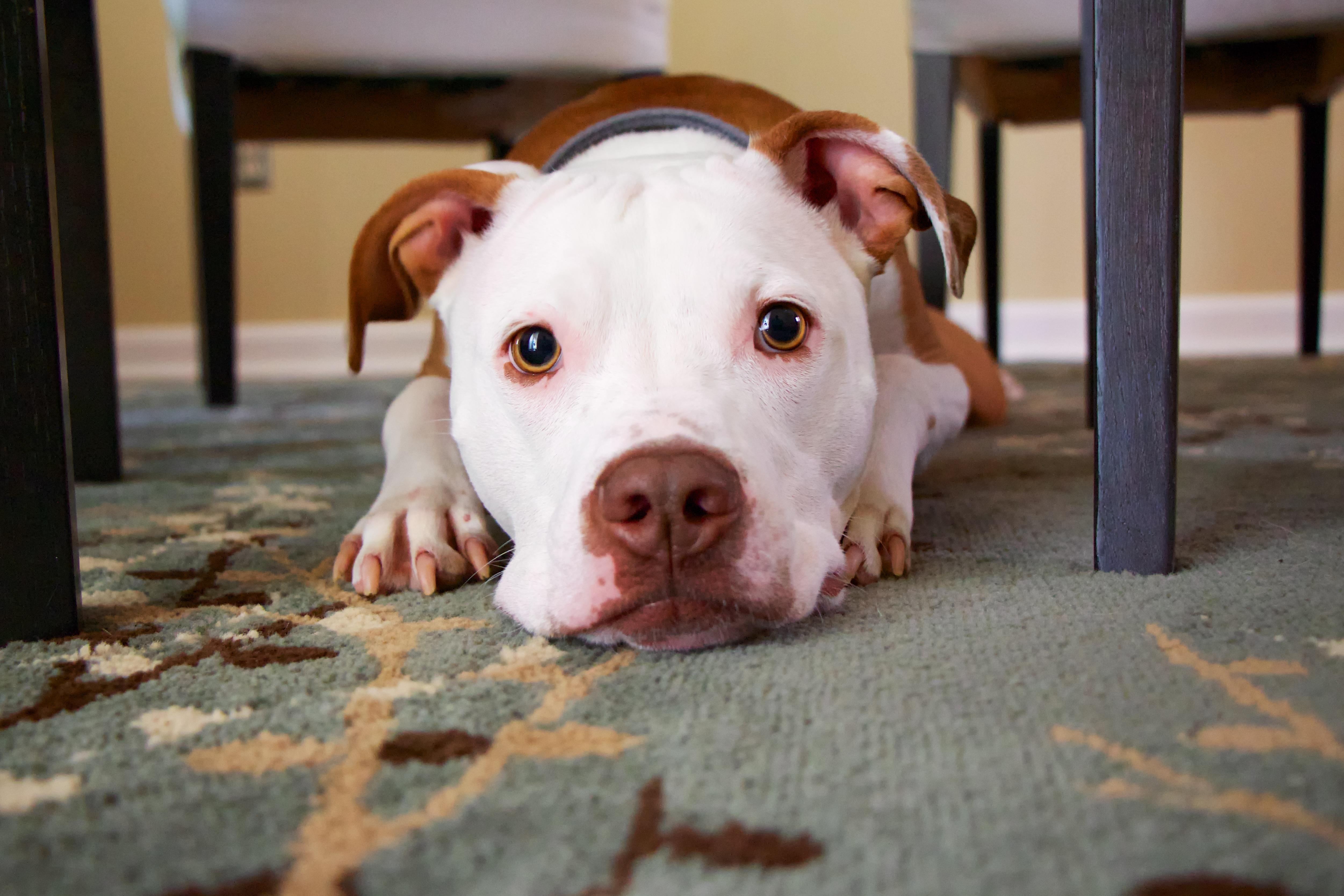 Capet pup